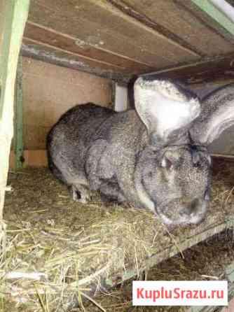 Кролики породы Фландер Белгород