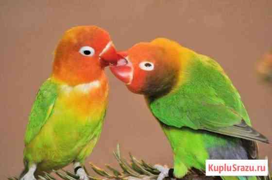 Красивые птенчики попугая неразлучника Красноярск