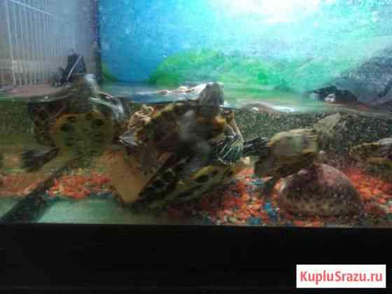 Красноухие водные черепахи Москва