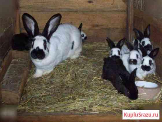 Кролики породы Строкач Белгород