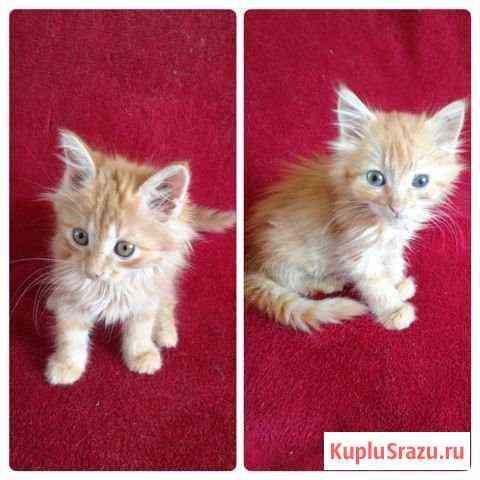 Милые рыжие котята мальчик и девочка Биробиджан