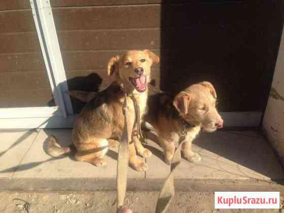 Молодые стерилизованные собаки Биробиджан