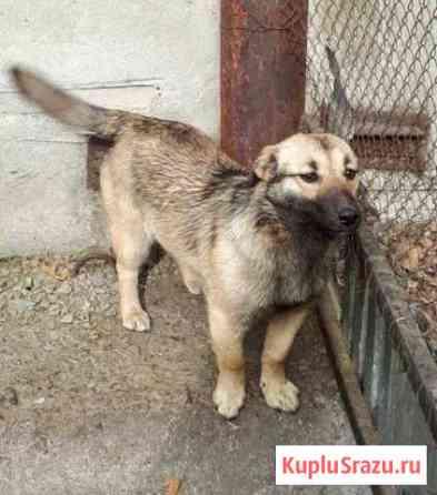 Молодая стерилизованная собака (хорошая охранница) Биробиджан