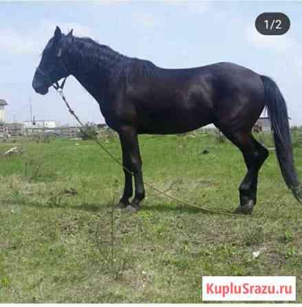 Лошадь Кабардинской породы Баксан