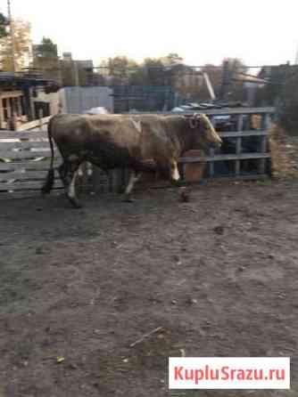 Коровы, Быки, Телки, телята Свободный