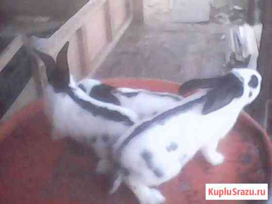 Крол фландр, крольчата строкач Омск