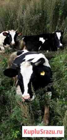 Продам телок и коров Завитинск