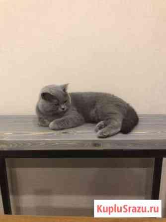 Кошка британка Андреевка