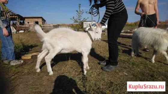 Продам козла Екатеринбург