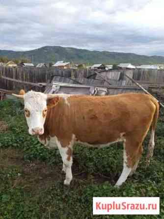 Корова Каменск