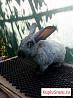 Продаю кроликов Полтавское серебро