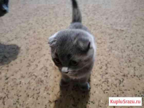 Шотландский котенок Курган