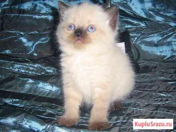 Британские чудо-котята - радость в Ваш дом Томск