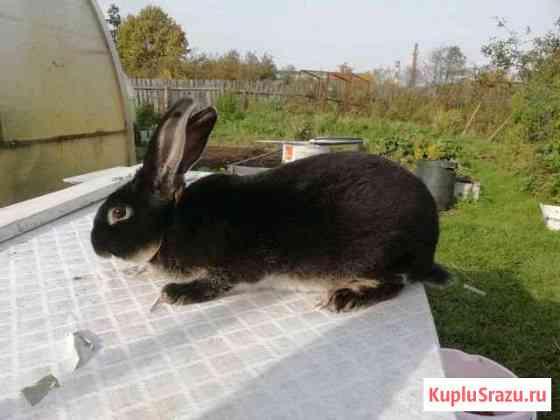 Кролик Рекс Талдом