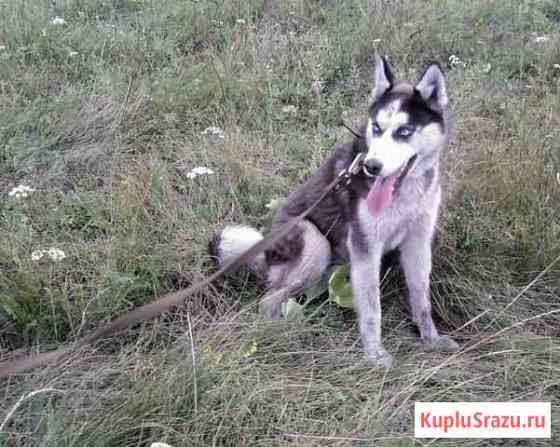 Подрощенный щенок сибирской хаски Назарово