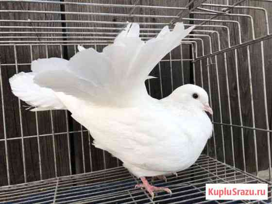 Продам голубей: павлины разных расцветок Красноярск