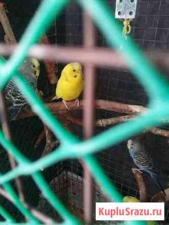 Попугай Черногорск
