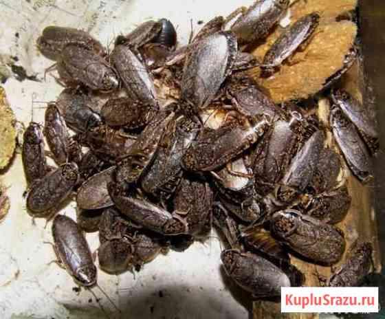 Мраморный таракан Сочи