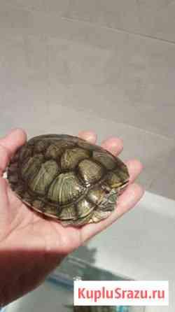 Красноухие черепахи Сочи