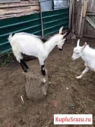 Козочка, 4,5 месяца отец Альпиец и коза 5-6 лет Кумены