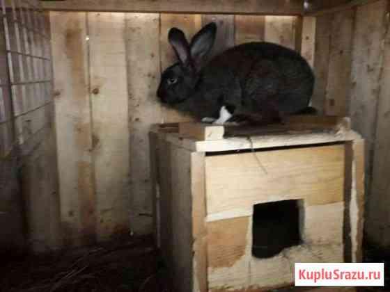 Крольчихи и кролы взрослые Абаза
