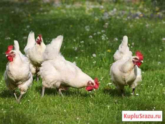 Курицы-несушки 5шт. хайсекс белые Чита