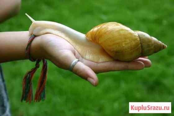 Большие, сухопутные улитки Ахатины, разные виды Новокузнецк