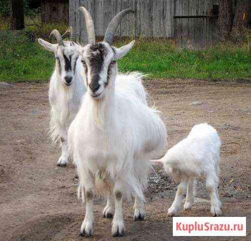 Молоко Козье Вкусное Полезное Шарыпово