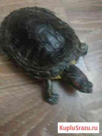 Черепаха красноухая Комсомольск-на-Амуре