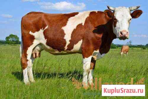 Корова на мясо Канск