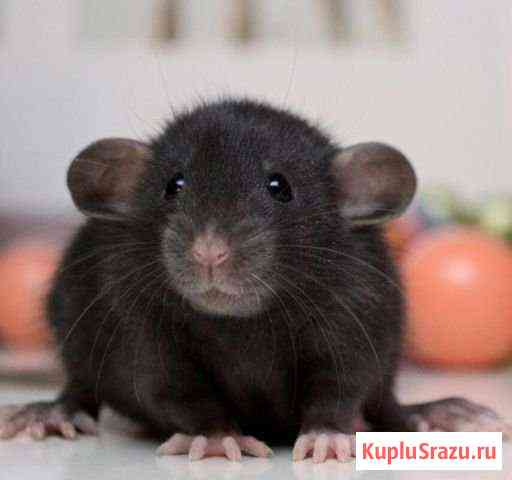 Крысята Дамбо Чита