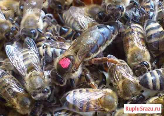 Пчеломатка 2019 года Новосибирск