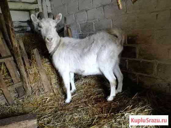Козлы и козы Погар