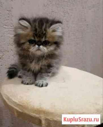 Персидский кот) Клинцы