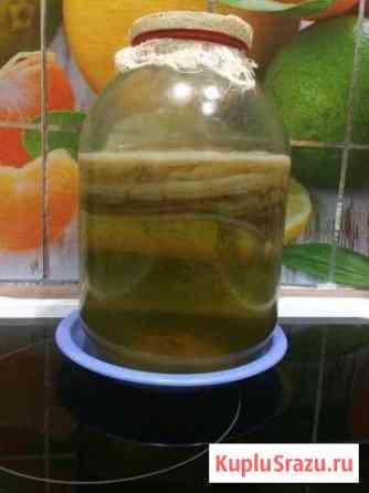 Чайный гриб Маркова