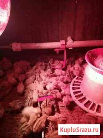 Суточные цыплята перепелов Барнаул