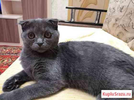 Вислоухий котенок (девочка) Белогорск