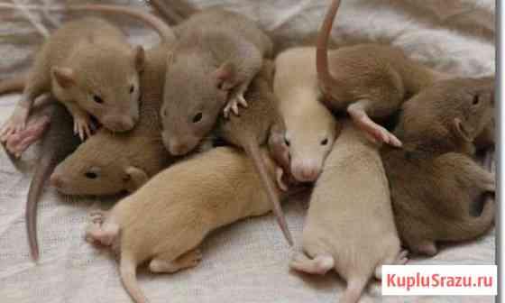 Крысята различных окрасов малыши и подростки Хабаровск