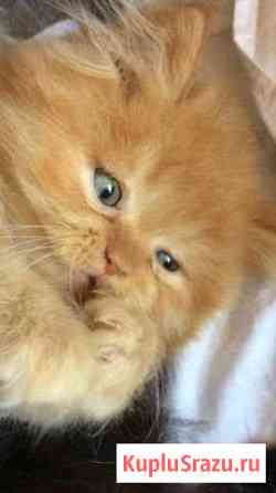 Котята британцы Майкоп