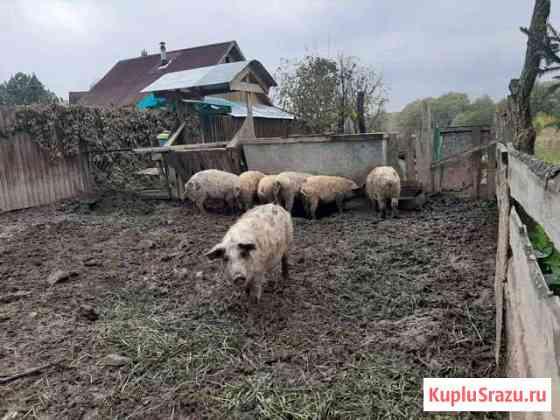 Свиноматки мангалицы 6 месяцев Мещерино