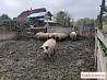 Свиноматки мангалицы 6 месяцев