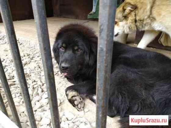 Самоедская лайка и тибетский мастиф Селятино