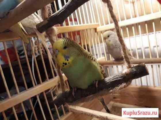Попугаи домашнего разведения (чехи,волнистые) Белоозёрский