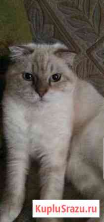 Кот породы скотиш-фолд 7 месяцев Сочи