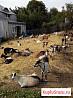 Козы и козлы. Обезроживание козлят