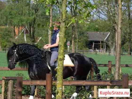 Фризская лошадь (жеребец) Санкт-Петербург