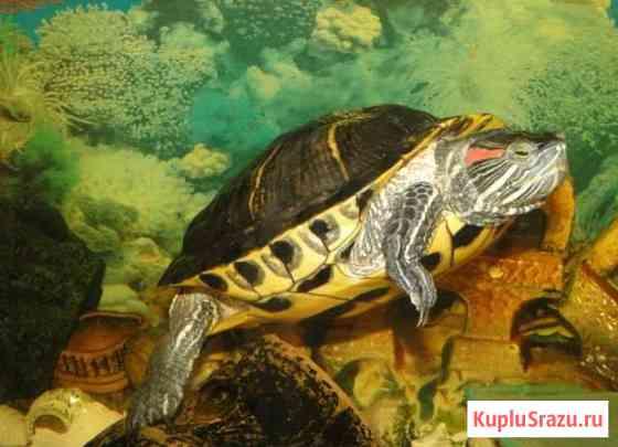 Черепаха красноухая Казань