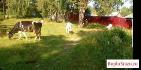 Корова Екатеринбург