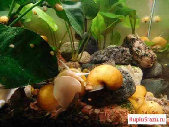 Улитки ампулярии жёлтые от 1,5 см до 2 см Сланцы