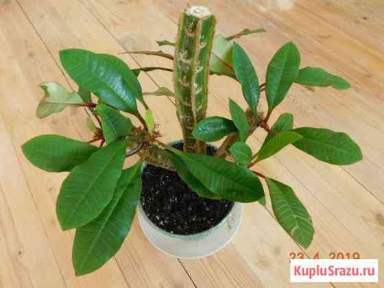 Молочай беложильчатый (Euphorbia leuconeura) Сланцы